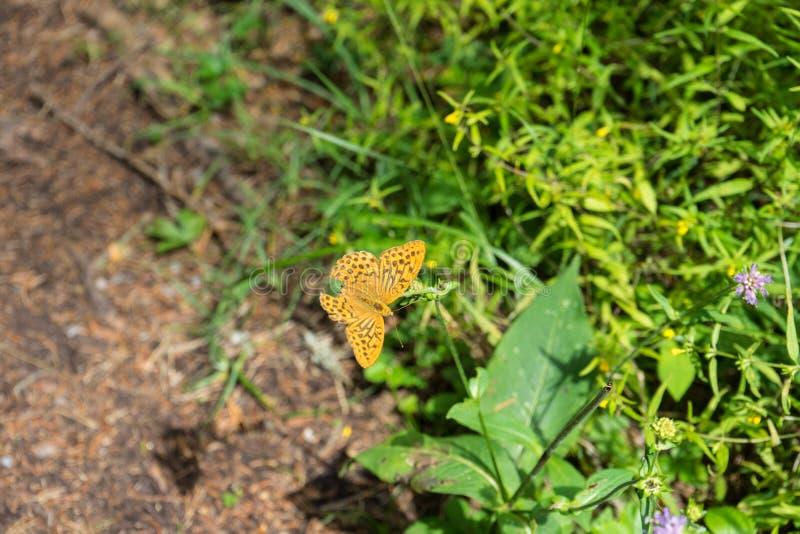 Farfalla arancio nella foresta fotografie stock libere da diritti