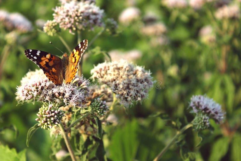 Farfalla arancio sui fiori immagini stock