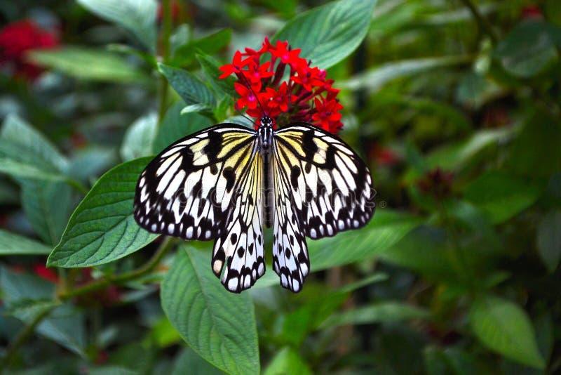 Farfalla bianca e nera immagine stock