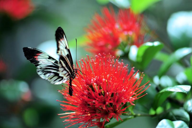 Farfalla bianca e nera di chiave del piano sul fiore rosso fotografia stock libera da diritti