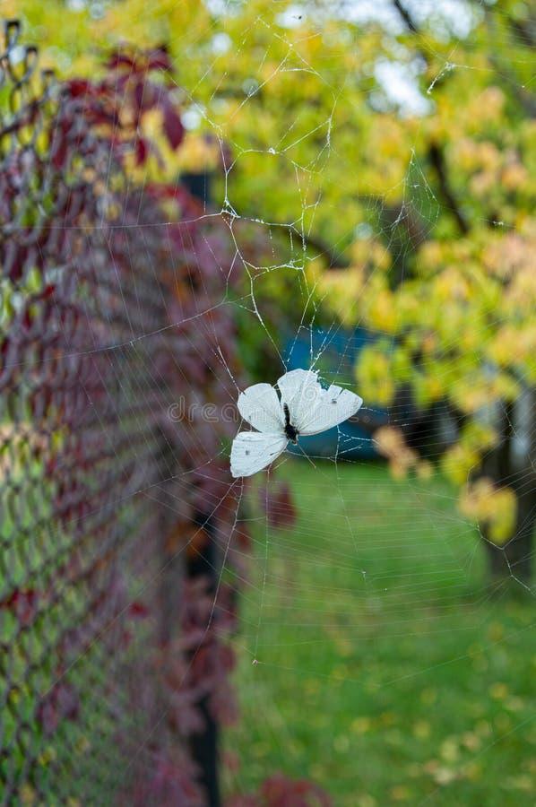 Farfalla bianca Pieris Brassicae su sottili bobine a fondo di fogliame sfocato Concetto di fragilità Bellezza della natura immagini stock
