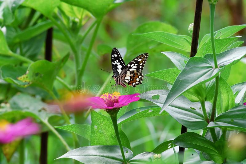 Farfalla in bianco e nero appollaiata sui fiori immagini stock