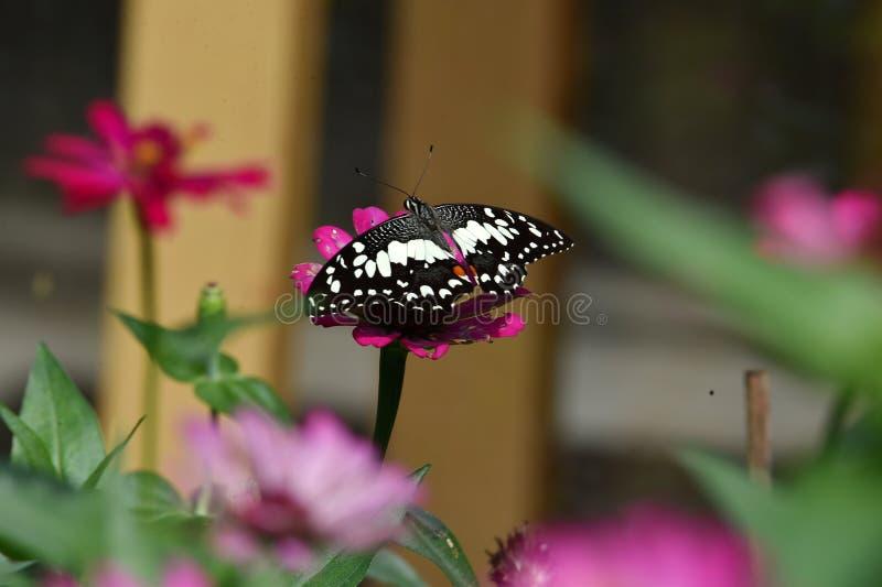Farfalla in bianco e nero appollaiata sui fiori immagine stock