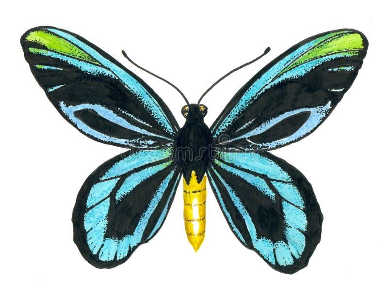 Farfalla birdwing del ` s della regina Alexandra immagini stock libere da diritti