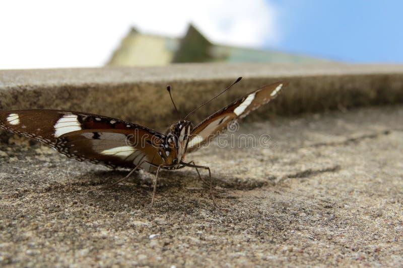 Farfalla birmana fotografia stock