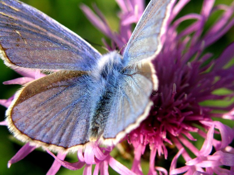 Farfalla Blu 1 Immagini Stock Libere da Diritti