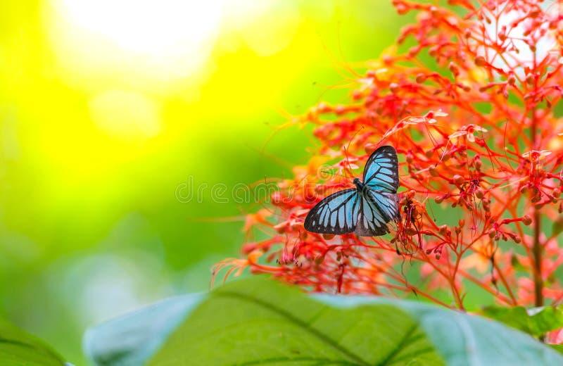 Farfalla blu con il fondo del bokeh immagini stock libere da diritti