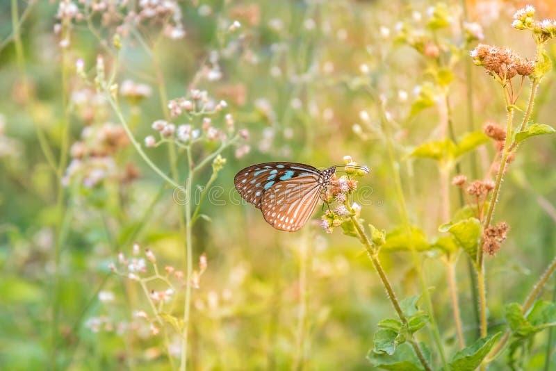 Farfalla blu con la mattina di luce solare fotografia stock