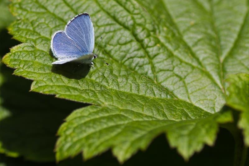 Farfalla blu dell'agrifoglio sul foglio verde fotografia stock libera da diritti