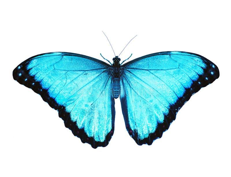 Farfalla blu di morpho isolata su fondo bianco Spanda le ali, colore migliorato fotografia stock libera da diritti