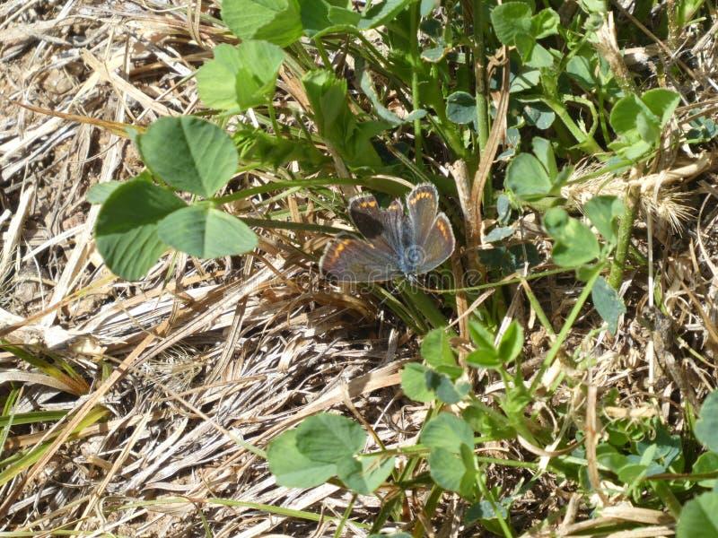 Farfalla blu di Osiris nelle montagne immagine stock libera da diritti