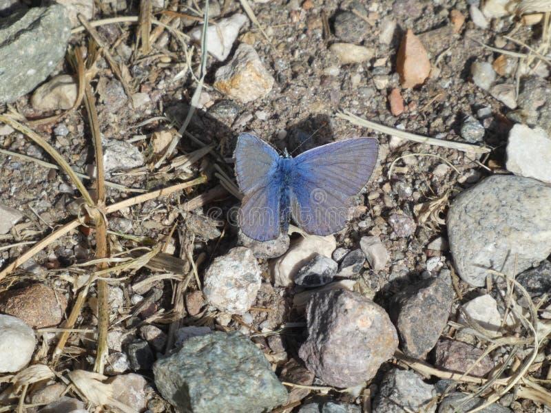 Farfalla blu di Osiris nelle montagne immagini stock libere da diritti