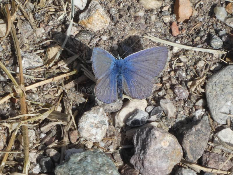 Farfalla blu di Osiris nelle montagne fotografia stock