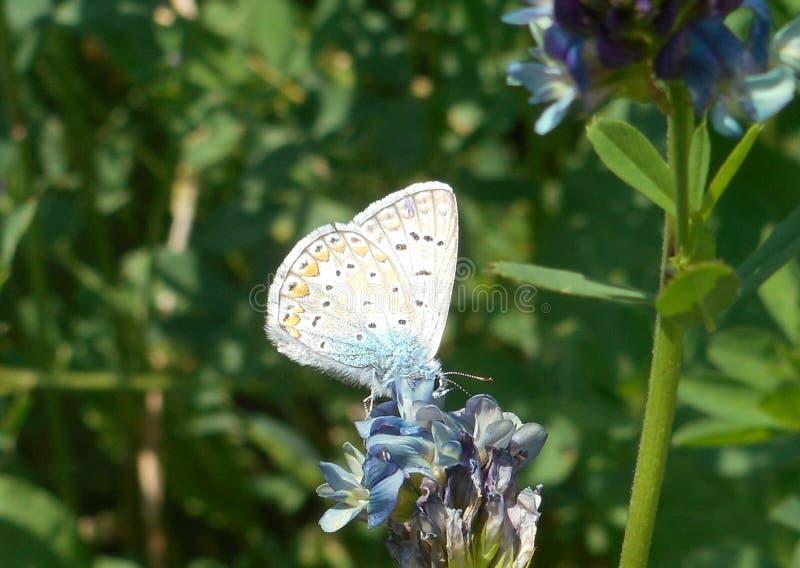 Farfalla blu di Osiris nelle montagne dell'Italia fotografia stock