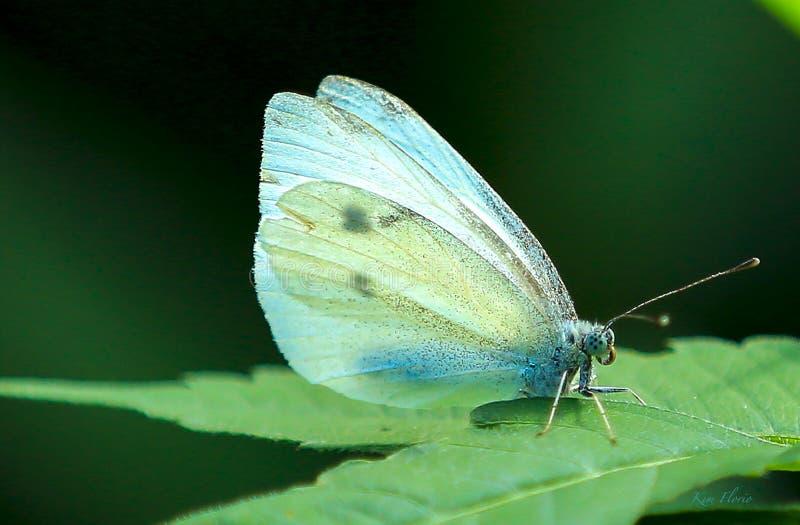 Farfalla blu e bianca che riposa su una foglia fotografie stock