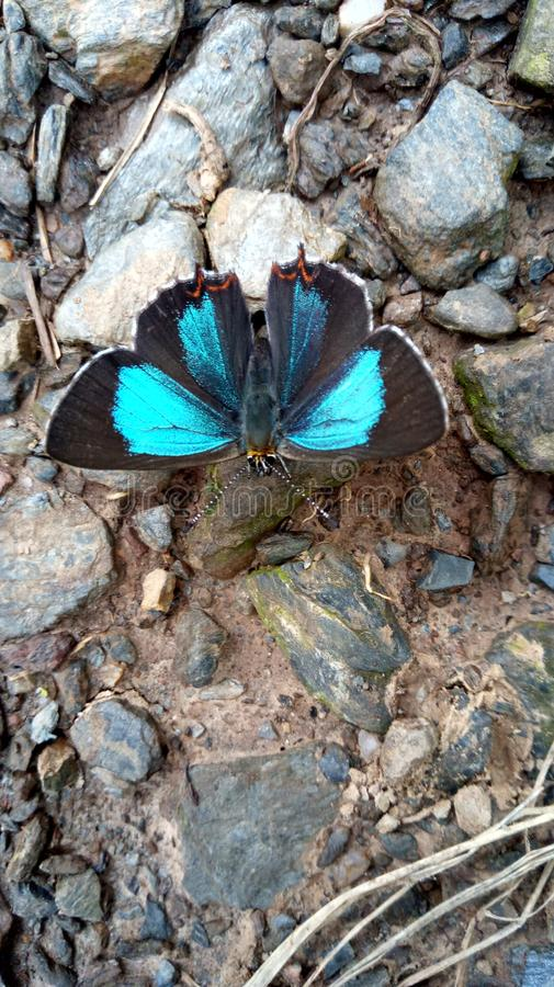 Farfalla blu e nera fotografia stock libera da diritti