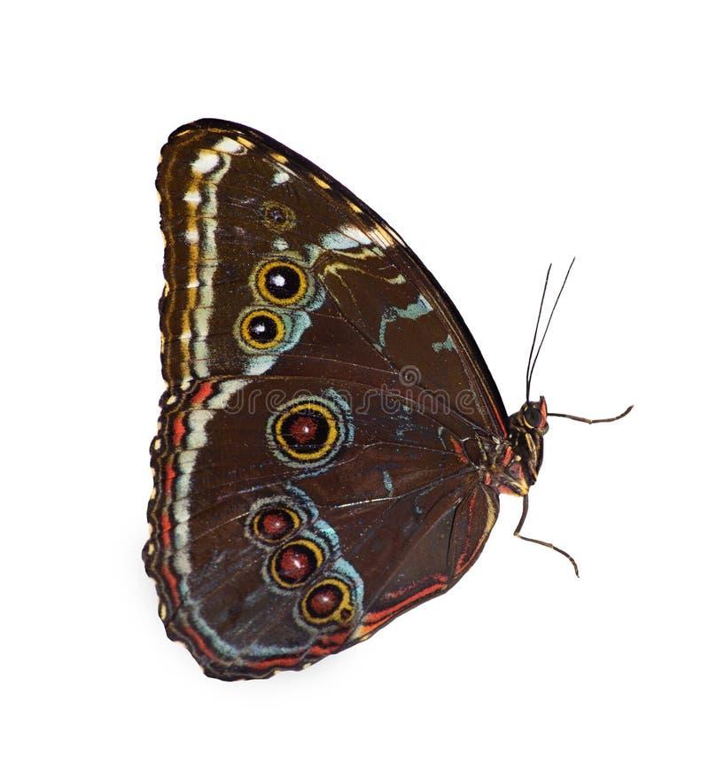 farfalla Blu-legata di morpho isolata su fondo bianco con le ali chiuse fotografie stock
