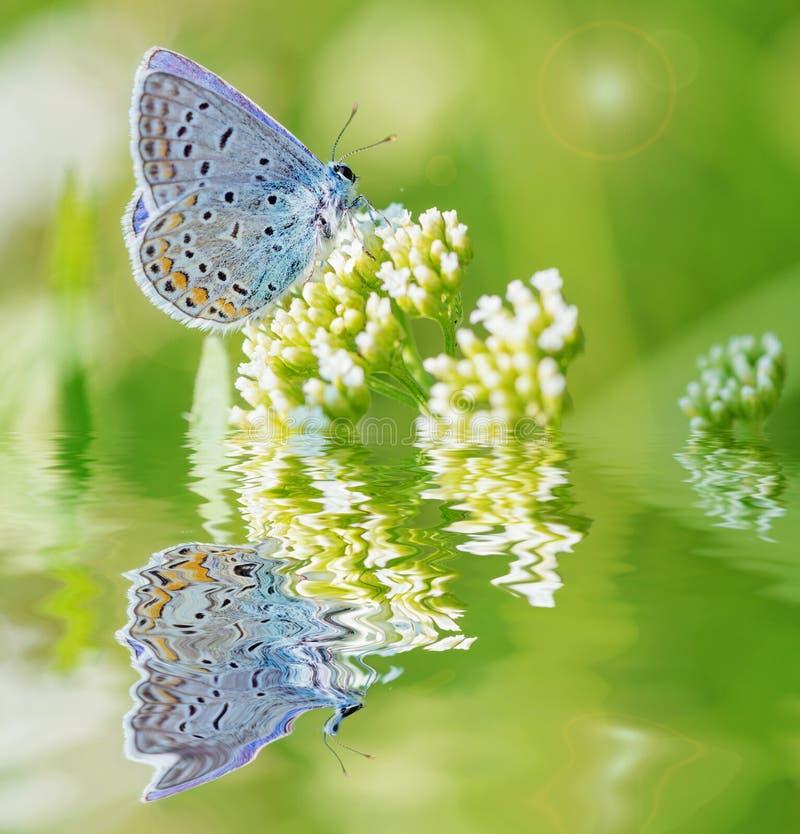 Farfalla blu su un fiore bianco immagine stock libera da diritti