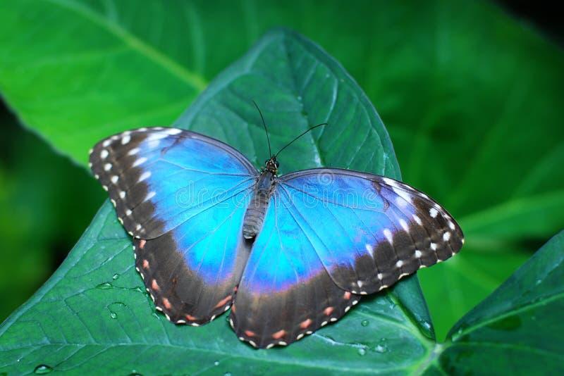 Farfalla blu su un foglio fotografia stock