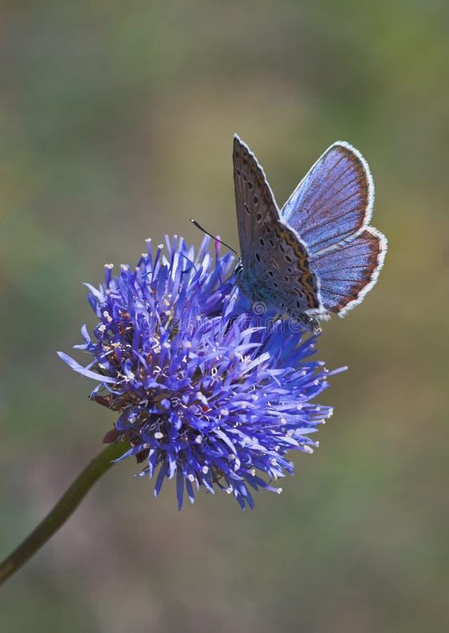 Farfalla blu sul fiore blu immagine stock libera da diritti