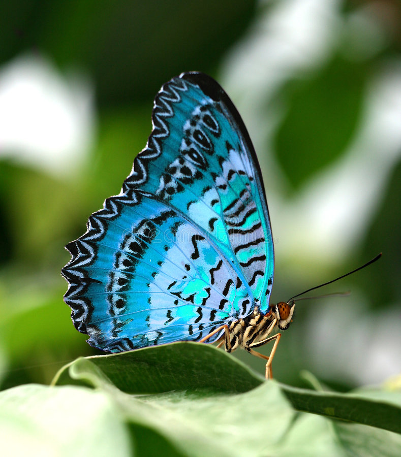 Farfalla blu sul foglio verde