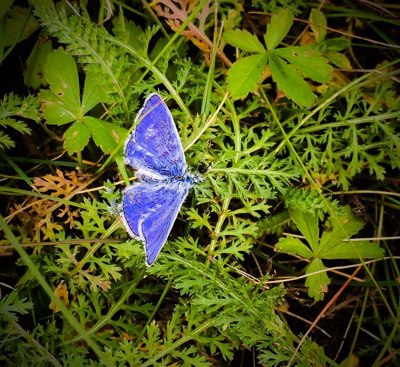 Farfalla blu/viola fotografia stock libera da diritti