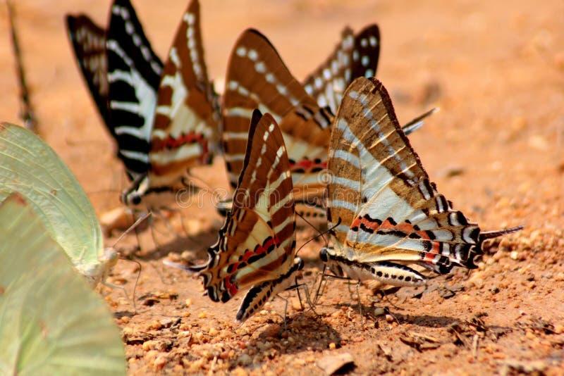 Farfalla Chain dello swordtail fotografia stock libera da diritti