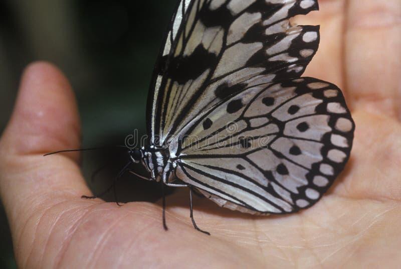Farfalla che riposa a disposizione, Coconut Creek, FL fotografia stock libera da diritti