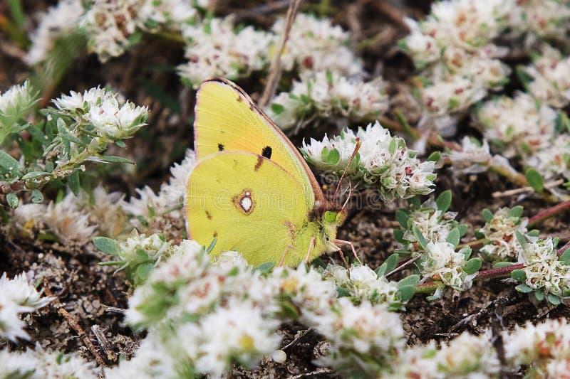 Farfalla che riposa sui fiori bianchi immagini stock