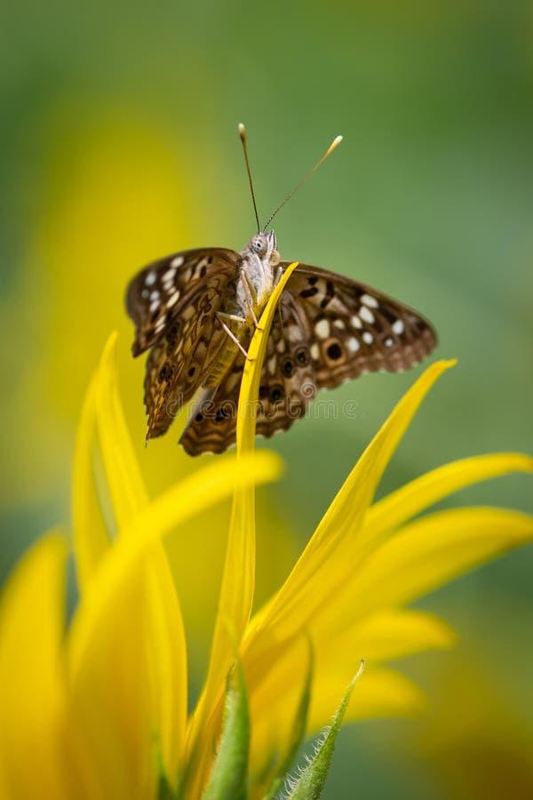 Farfalla che si siede su un girasole fotografia stock libera da diritti