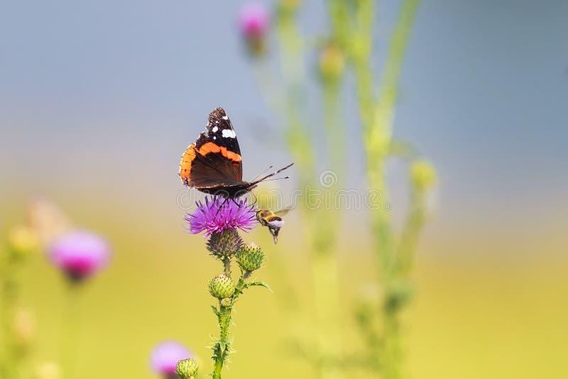 Farfalla che si siede sulle punte di un fiore di rosa immagini stock