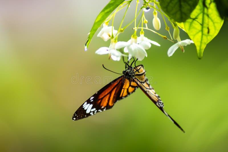 Farfalla che succhia acqua il giorno piovoso bianco dei fiori di mattina immagini stock libere da diritti