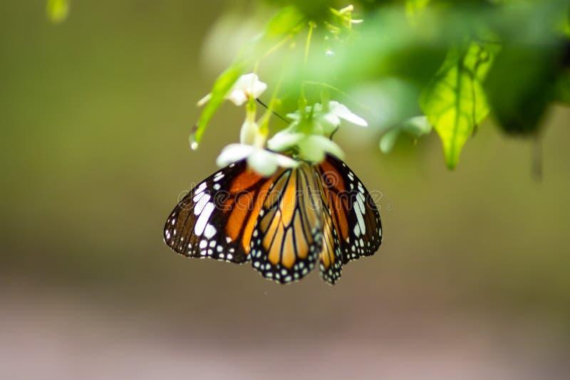Farfalla che succhia acqua sui fiori bianchi con il bello fondo di luce solare nella casa del giardino fotografie stock libere da diritti
