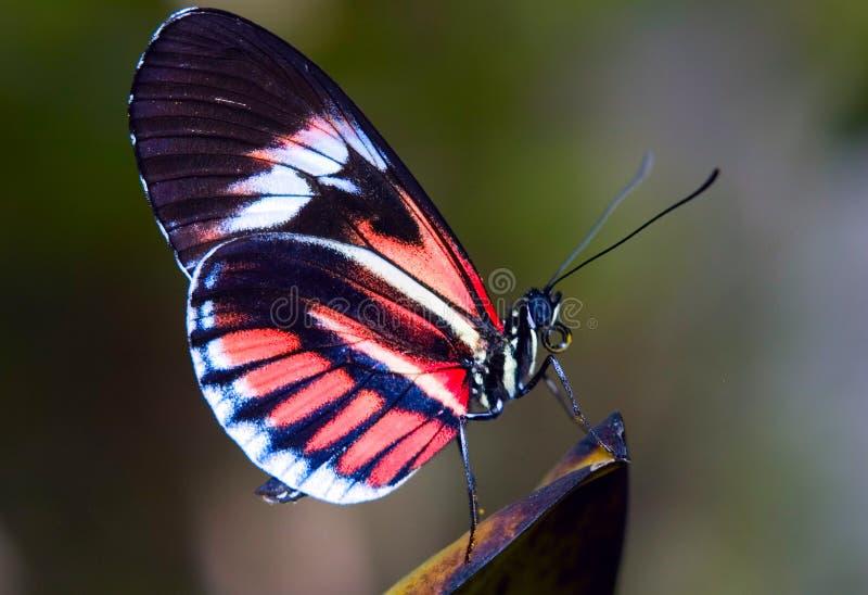 Farfalla chiave del piano immagine stock libera da diritti
