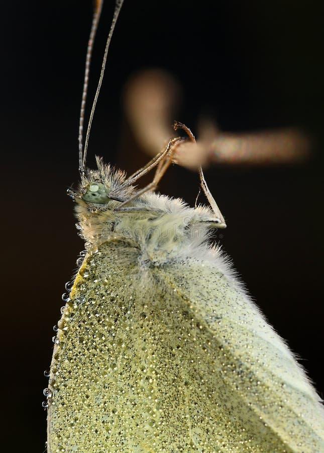 Farfalla comune con le gocce di rugiada immagine stock