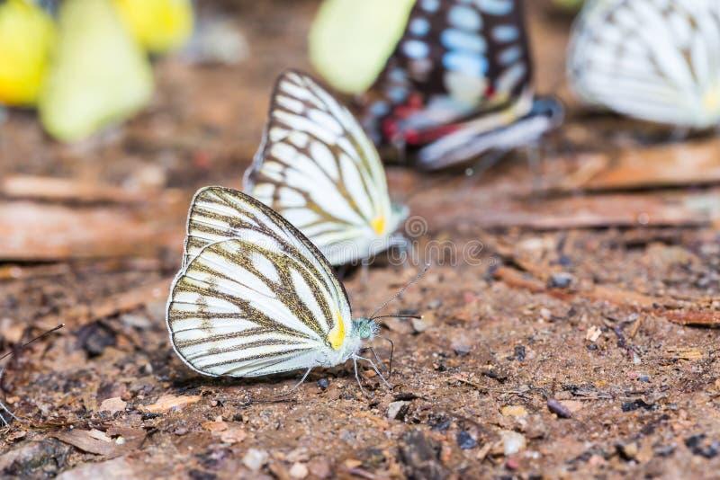 Farfalla comune del gabbiano fotografia stock libera da diritti