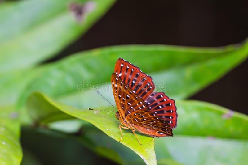 Farfalla comune di Punchinello fotografie stock libere da diritti