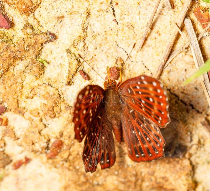 Farfalla comune di punchinello su terra fotografia stock