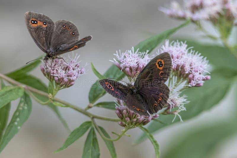 Farfalla dei aethiops di Erebia sul fiore fotografia stock libera da diritti