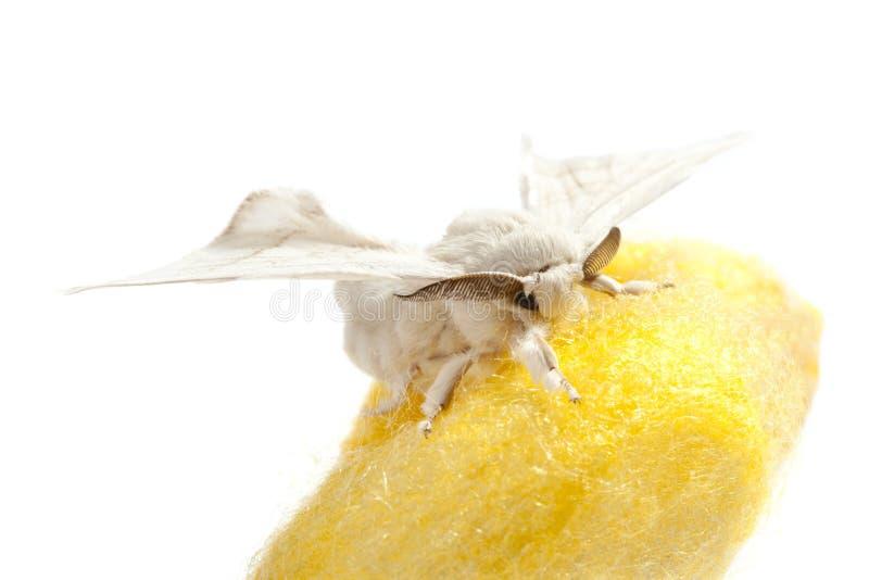 Farfalla del baco da seta sopra il bozzolo giallo su bianco immagini stock