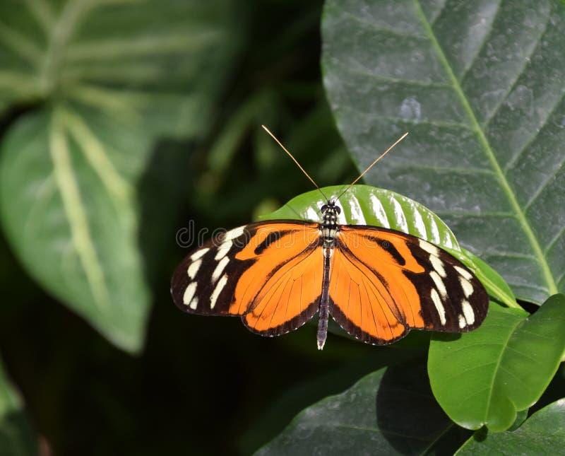 Farfalla del becale di Heliconius in natura fotografia stock