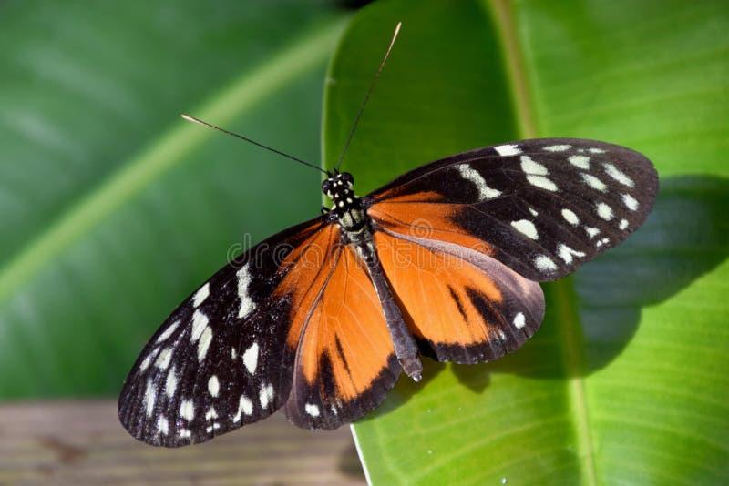 Farfalla del becale di Heliconius in natura fotografia stock libera da diritti