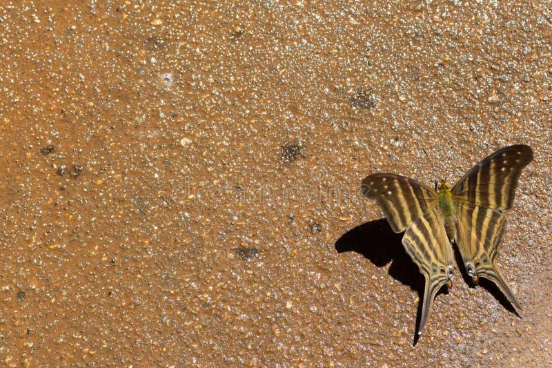 Farfalla del Brown immagini stock