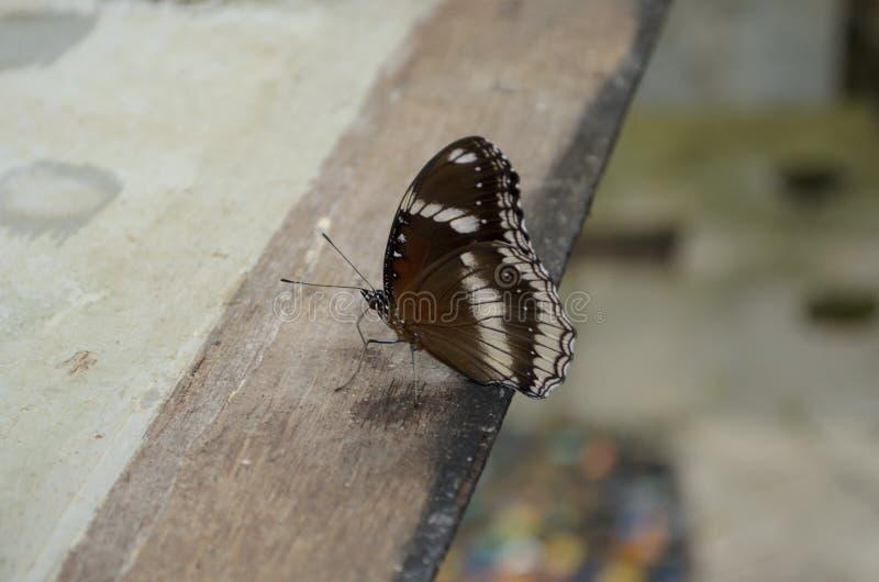 Farfalla del Brown immagine stock