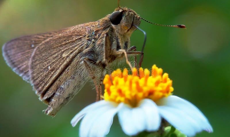 Farfalla del Brown fotografie stock