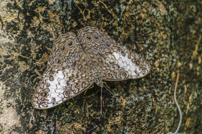 Farfalla del cammuffamento al giardino botanico, Guayaquil, Ecuador immagine stock