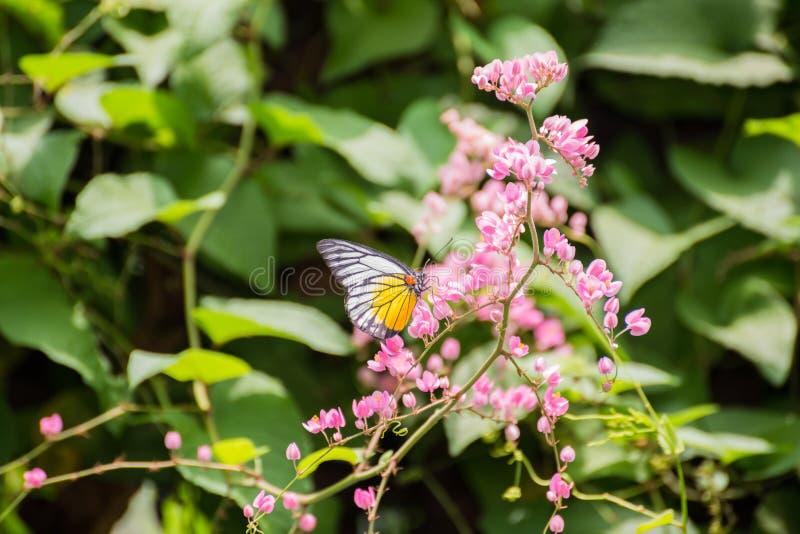 Farfalla del dente di sega di Redspot sui fiori rosa immagine stock libera da diritti