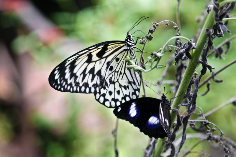 Farfalla del documento di riso fotografia stock