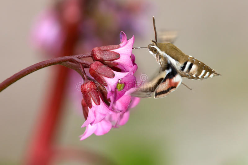 Farfalla del festaiolo immagini stock