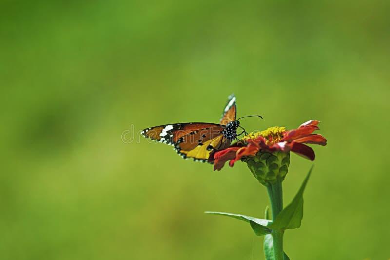 Farfalla del fiore fotografie stock